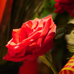 sant jordi's day red rose