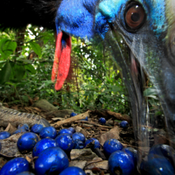 Southern Cassowary By Christian Ziegler