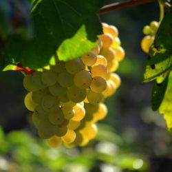 Wine made from fresh ripe Grapes