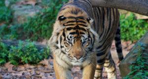 Tiger Barcelona Zoo