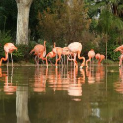 zoo-barcelona-flamencos