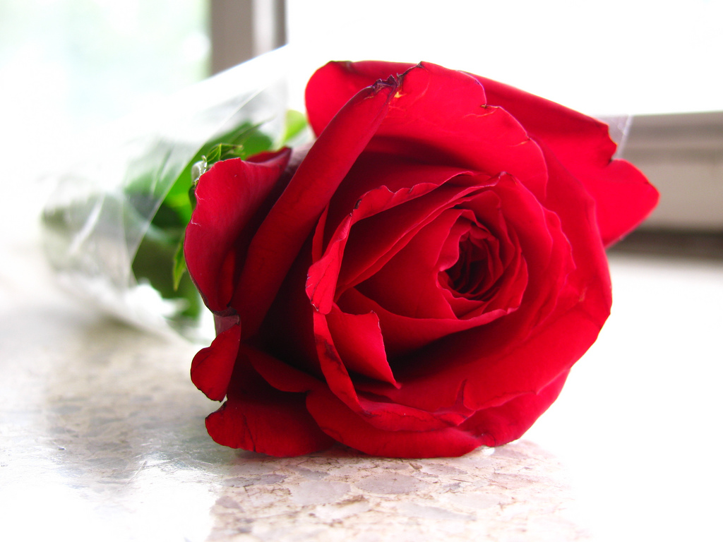 Sant Jordi rose