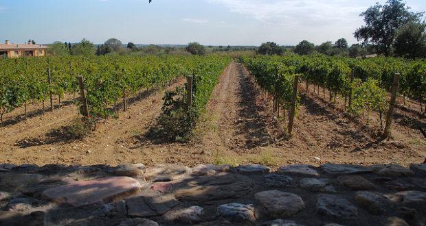 Lavinyeta vineyard